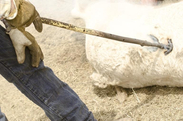 cattle-branding-1130672_960_720 2